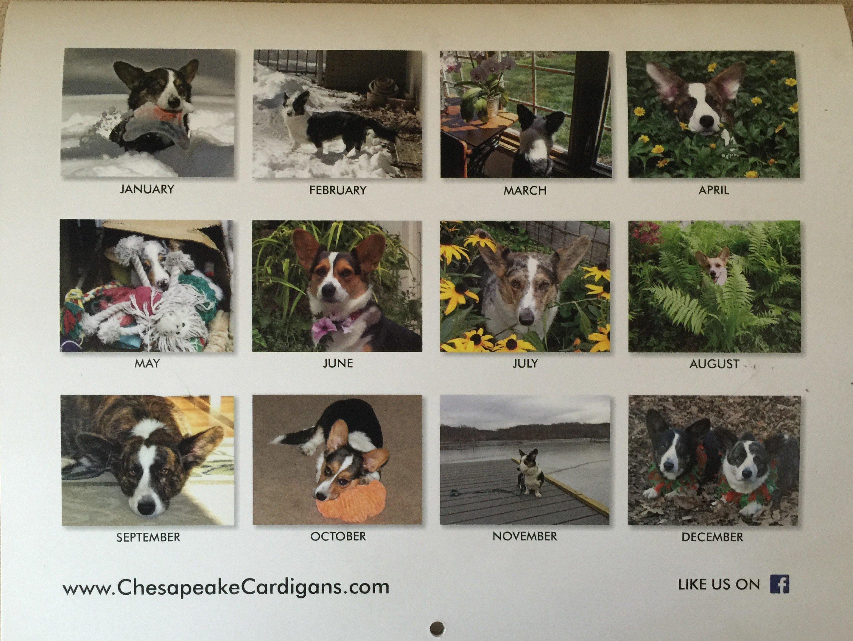 Calendar For Sale : Ccwcc calendars for sale chesapeake cardigan welsh